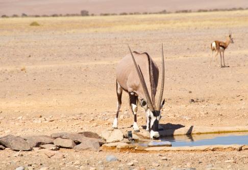 oryx and springbok