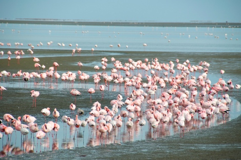 lesser (pink) and greater (white) flamingos